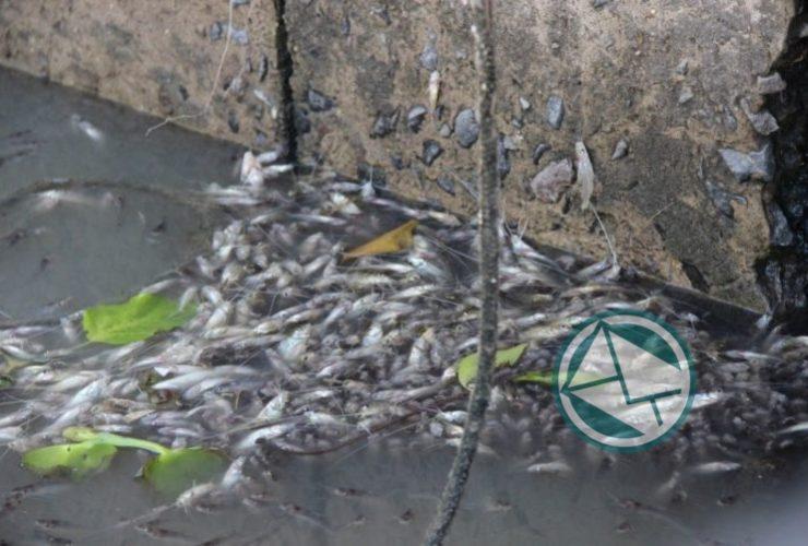 Mortandad de peces en el lecho del Río Santiago 3