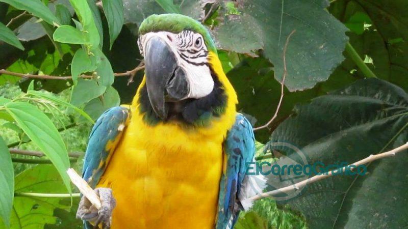 guacamayo azulamarillo