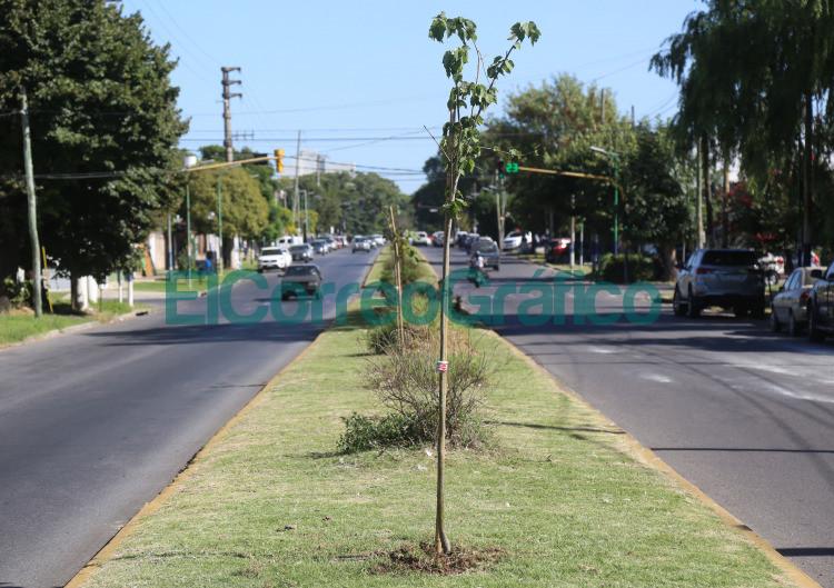 Plantaron nuevos tilos en avenida 13 desde 72 a 76
