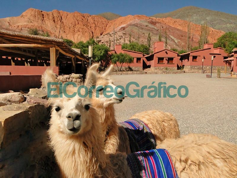 Llamas en Purmamarca Jujuy